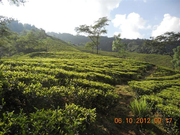 Darjeeling, der Chamong-Garten Tumsong