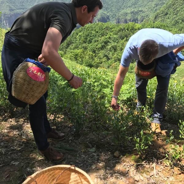 Teepflücken in China